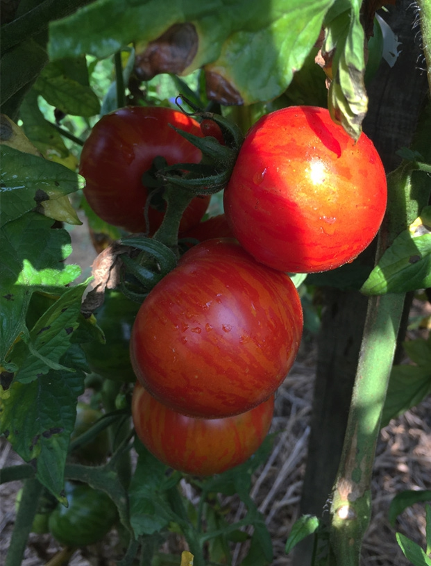 tomates anciennes bios