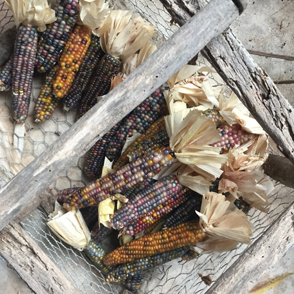 maïs population glass gem multicolore variette